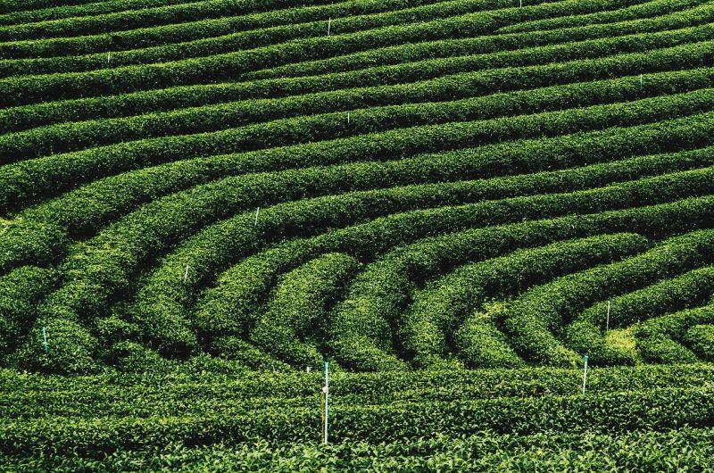 tea-plantations-1